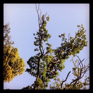 Tree, 38º, Bois de Vincennes