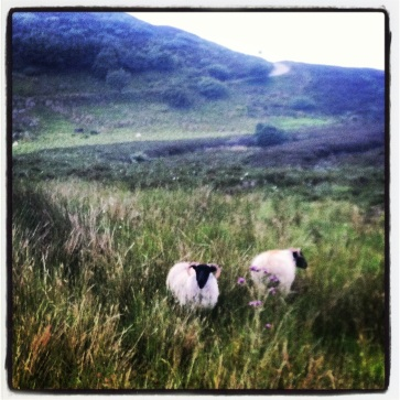 Mountain sheep, Sligo